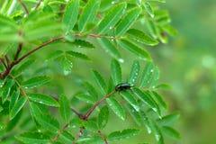 Ścigi cetonia aurata siedzi na liściu drzewo obrazy stock
