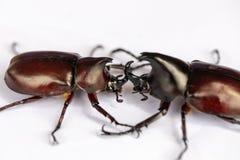 Ścigi, insekty, pluskwy są grupą insekt forma rozkazu Coleoptera, zwierzę pobierają próbki dla edukacji fotografia royalty free