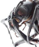ścigi kierowniczy insekta longhornu macro fotografia stock