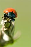 ścigi krwisty ostrożnie wprowadzać tenebricosa timarcha Fotografia Stock