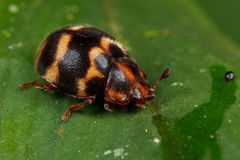 ścigi ladybird liść obrazy stock