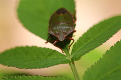 Ścigi pluskwa na zielonych liściach Zdjęcia Royalty Free