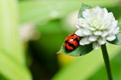 ścigi zielona biedronki natury czerwień Obraz Royalty Free