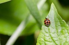 ścigi zielona liść pomarańcze Zdjęcie Royalty Free