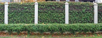 Ścisły zieleni ogrodzenie od iglastych wiecznozielonych rośliien i mety obraz stock