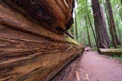 Ślad w Humboldt Redwoods stanu parku zdjęcie royalty free