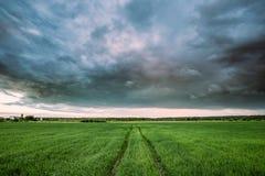 Ślada samochód W polu Z Zielonej trawy potomstwami Pszenicznymi wieś Obraz Stock