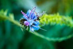 Ślazu kwiat z purpurowymi stamens zdjęcia royalty free