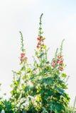 Ślazu ogród kwitnie na lekkim tle zdjęcie royalty free