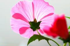 ślazu różowy kwiat zdjęcie royalty free