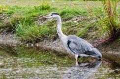 Śledź w wodnym czekaniu dla ryba Obrazy Royalty Free