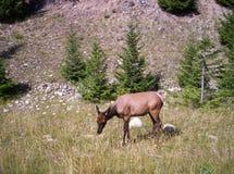 śledzić jeleni white Obrazy Royalty Free