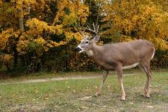 śledzić jeleni white Obraz Stock