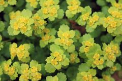 Śledziona, zmiennik, zwyczajny Chrysosplenium alternifolium fotografia royalty free