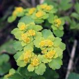 Śledziona, zmiennik, zwyczajny Chrysosplenium alternifolium fotografia stock