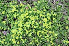 Śledziona, zmiennik, zwyczajny Chrysosplenium alternifolium zdjęcia stock