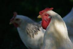 Śledzony kurczak zdjęcie stock