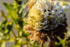 Śledzony kwiat obrazy royalty free