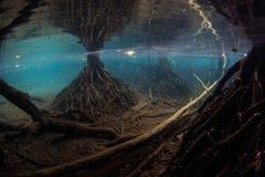 Śledzony Namorzynowy Lasowy Podwodny w Raja Ampat zdjęcia stock