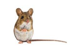 Śliczna Śródpolna mysz na białym tle fotografia royalty free