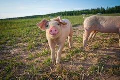śliczna świnia Fotografia Royalty Free