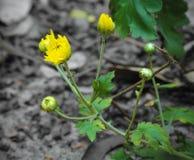 Śliczna Żółta chryzantema Kwitnie dziecko pączki zdjęcie stock
