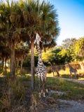 Śliczna żyrafa Obrazy Royalty Free