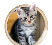 Śliczna Amerykańska shorthair figlarka Zdjęcie Royalty Free