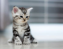 Śliczna Amerykańska shorthair kota figlarka Zdjęcie Stock