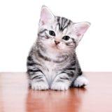 Śliczna Amerykańska shorthair kota figlarka Zdjęcia Royalty Free