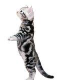 Śliczna Amerykańska shorthair kota figlarka Obrazy Royalty Free