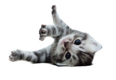 Śliczna Amerykańska shorthair kota figlarka Obrazy Stock