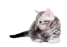 Śliczna Amerykańska shorthair kota figlarka Zdjęcia Stock