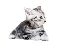 Śliczna Amerykańska shorthair kota figlarka Fotografia Stock