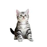 Śliczna Amerykańska shorthair kota figlarka Odosobniony o bielu tło Obraz Royalty Free