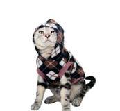 Śliczna Amerykańska shorthair kota figlarka pojedynczy białe tło Obrazy Stock
