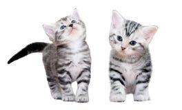 Śliczna Amerykańska shorthair kota figlarka pojedynczy białe tło Zdjęcie Royalty Free