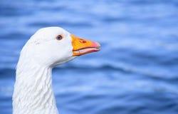 Śliczna biała gąska z naturalnymi głębokimi niebieskimi oczami Zdjęcia Royalty Free