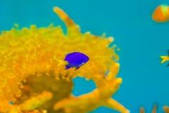 Śliczna Chrysiptera cyanea ryba, także znać jako błękitny damselfish, błękitny Zdjęcia Stock