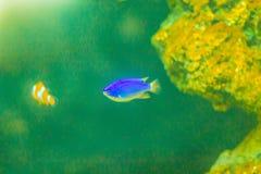 Śliczna Chrysiptera cyanea ryba, także znać jako błękitny damselfish, błękitny Obrazy Royalty Free