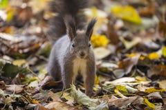 Śliczna ciekawa czerwona wiewiórka na jesień liściach Zdjęcia Stock