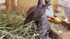 Śliczna czarna królika łasowania trawa w drewnianej klatce na gospodarstwie rolnym Lata i środki utrzymania dorośnięcie zbiory