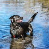 Śliczna Czarna labrador pozycja w płytkiej wodzie Zdjęcia Royalty Free