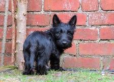 Śliczna czarna szczeniaka psa pozycja czerwonym ściana z cegieł Zdjęcia Royalty Free