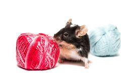 Śliczna czarny i biały mysz z nicią Fotografia Stock