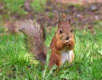 Śliczna czerwona wiewiórka je dokrętki na gałąź obraz royalty free