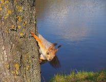 Śliczna czerwona wiewiórka w parku na drzewnym zamkniętym widoku na rzecznym tle zdjęcia stock