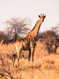 Śliczna dorosła żyrafy pozycja, dopatrywanie w sawannie i, Etosha park narodowy, Namibia, Afryka Zdjęcia Royalty Free