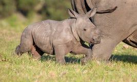 Śliczna dziecko nosorożec Obrazy Royalty Free