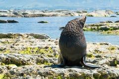 Śliczna Futerkowa foka na Kaikoura plaży Zdjęcia Royalty Free